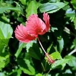 Tobago Hibiscus