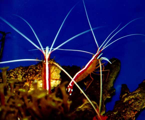Aquarium Shrimp