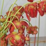 Flowering Sarracenias