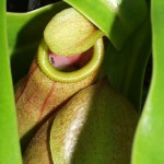 Ant on the Edge of a Nepenthes Pitcher Plant Trap