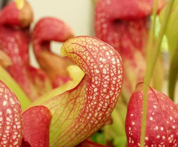 Pitcher Plant, Sarracenia psittacina hybrid.