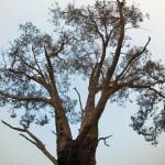 Fire haze sky and a drought stressed eucalyptus, December2006