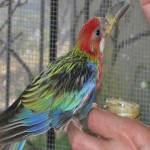 Hand raised Rosella
