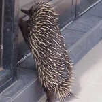 Echidna at the Door