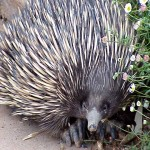 Spike the wild echidna in the garden.