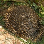 Spike, the echidna in the strawberries.