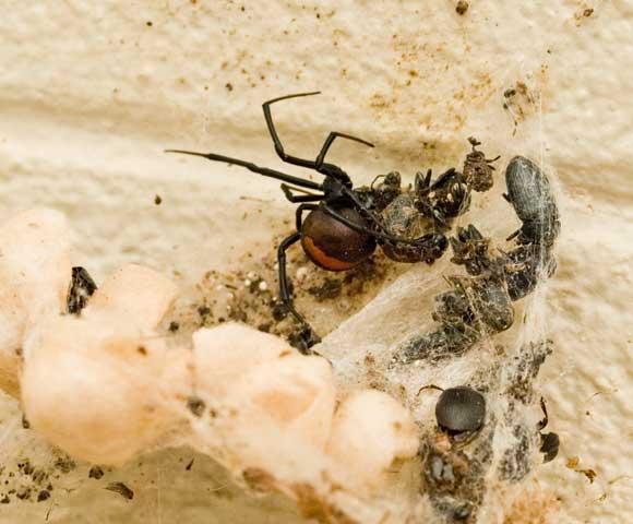 The dangerous Australian Red Back spider, October 2008.