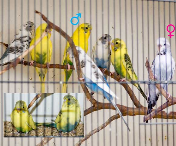 A big budgie family - all from the same pair, one nest, 2008 breeding season.