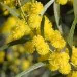 Wattle in flower, September 2008.