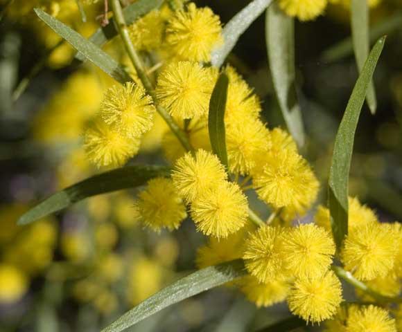 Wattle in flower, September 2008.