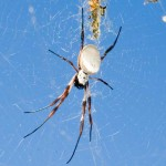 Female Golden Orb Spider at the center of her web.