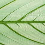 Green in contrast - calathea leaf detail.