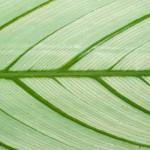 Green in contrast - calathea leaf detail.
