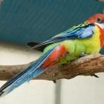 Lil Birdie - the one-legged hand-raised Rosella.