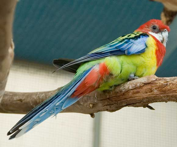 Lil Birdie - the one-legged hand-raised Rosella.