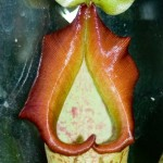 Nepenthes Collar