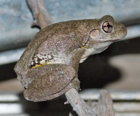 Numerous Perons Tree Frogs have moved into my glasshouse