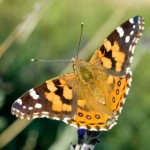 European Painted Lady Butterfly
