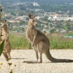 Kangaroo Visitors