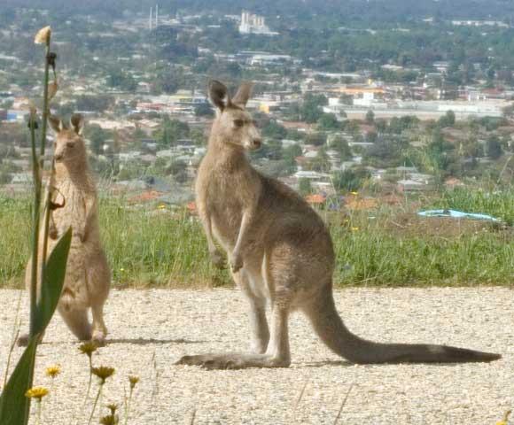 Kangaroo Visitors