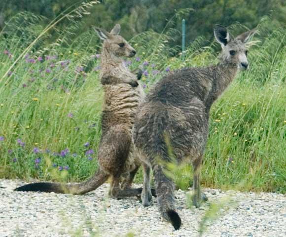 Wet Kangaroos after a Storm