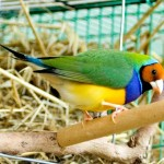Male Yellow Headed Gouldian