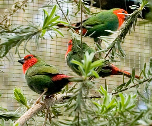 Red Faced Parrot Finches