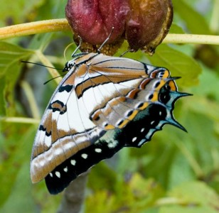 Tailed Emperor butterfly feeding from an opening fig flower.