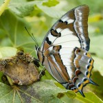 Tailed Emperor butterfly feeding on over-ripe figs.