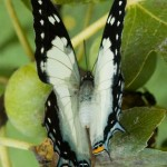 Tailed Emperor butterfly