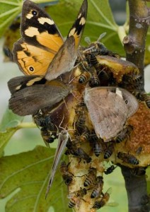 Common Brown Butterflies drunk on sweet figs