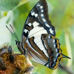 Tailed Emperor butterfly feeding on figs.