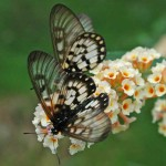Glasswing Butterflies on buddleia flowers