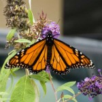 Monarch Butterfly on Buddleia Flower