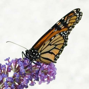 Monarch or Wanderer Butterfly