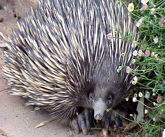 Spike, the echidna.