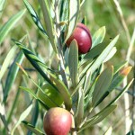 Olives on the olive tree