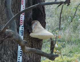White Punk fungus