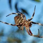 Garden Orb Spider - Eriophora transmarina