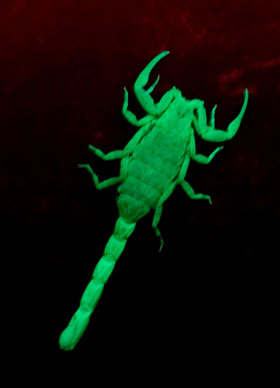 Marbeled Scorpion, Lychas marmoreus, under UV, colour corrected.