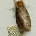 White Cedar Moth laying eggs