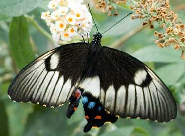 DSC_3072_CtSwallowtail