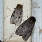 White Cedar Moths