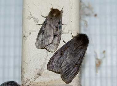 White Cedar Moth Kathyw S Website