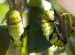 Citrus Swallowtail Caterpillar, 1st June, 2011
