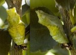 Citrus Swallowtail Chrysalis, 8th June, 2011