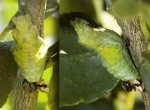 Citrus Swallowtail Chrysalis, 11th June, 2011