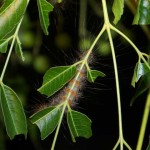 Cedar Moth caterpiilar hugs the underside of the leaves.