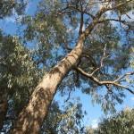 Eucalyptus goniocalyx