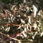 Storm felled eucalyptus goniocalyx